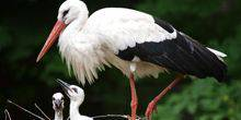 Webcam Berlin - The Nest Of The White Stork