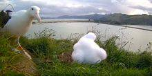 Webcam Dunedin - The nest of the Albatros