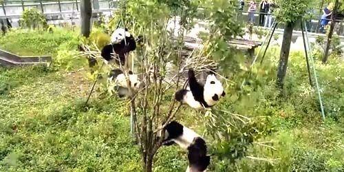 Webcam Chengdu - Panda cubs in Panda Park