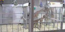 Webcam Topeka - Giraffes at the zoo