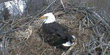 Webcam Pittsburgh - The bald eagle's nest