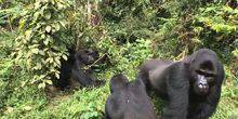 Webcam Butembo - Gorillas in the vicinity Tayna