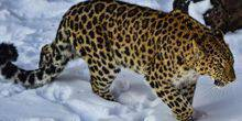 Webcam Barnaul - Far Eastern leopard in the zoo