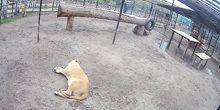 Webcam Barnaul - African lion at the zoo