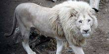 Webcam Yaroslavl - White lions in the zoo