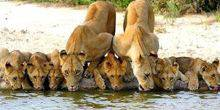 Lions at the watering hole Hoedspruit