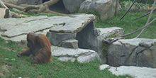 Webcam San Diego - Monkeys in the San Diego Zoo