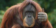 Webcam Milwaukee - An orangutan at the zoo