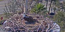 The nest of the osprey – Fish eagle St. Petersburg