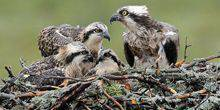 Webcam Loksa - The Nest Of The Osprey