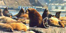 Webcam Nevelsk - Seal Rookery - Sea Lions