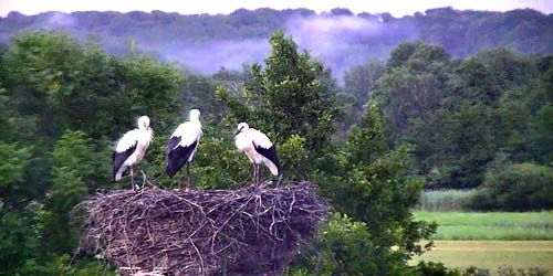 Webcam Hamburg - Storks nest
