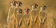 Webcam London - Meerkats at London zoo