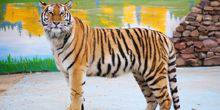 Webcam Barnaul - Amur tiger at the zoo
