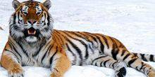 Webcam Yaroslavl - Siberian tiger in the zoo