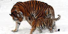Webcam Milwaukee - Amur tigers