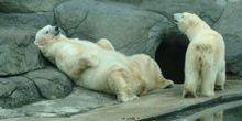Webcam Milwaukee - Polar bears