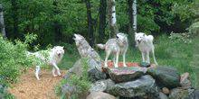 White wolves in the reserve rocky mountain Boulder