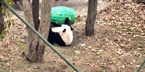 Webcam Chengdu - Pandas in Wolong Valley