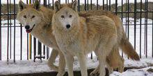 Webcam Yaroslavl - The wolves in the zoo