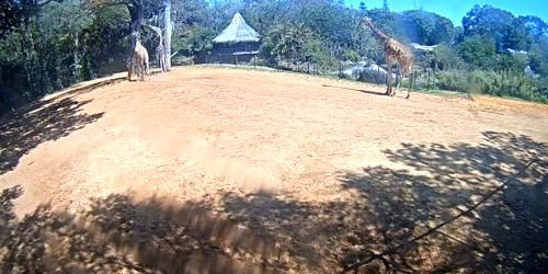 Webcam Perth - Giraffes at the city zoo